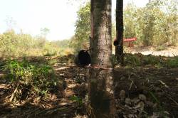 Rubber tapping near Total Yadana-Yetagun gas pipelines. By HO Pik Lam Theodora, 2017.