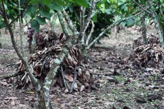 Cocao agroforestry at Santa Rosa. By XIA Lewei Peggy, 2012.